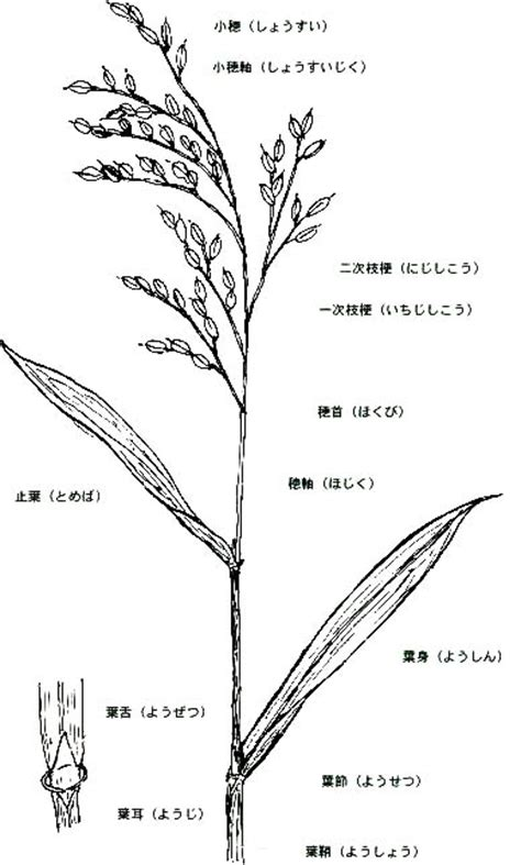 Education - Organs of rice - Panicle