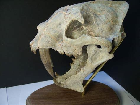 Large Adult Saber Tooth Cat Skull (012417n) | Fossils For